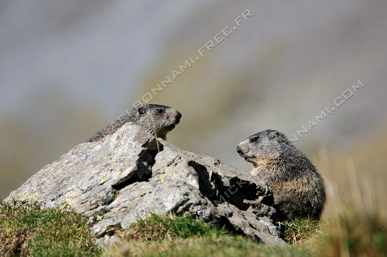 Danse avec les marmottes Danse_avec_les_marmottes_8_