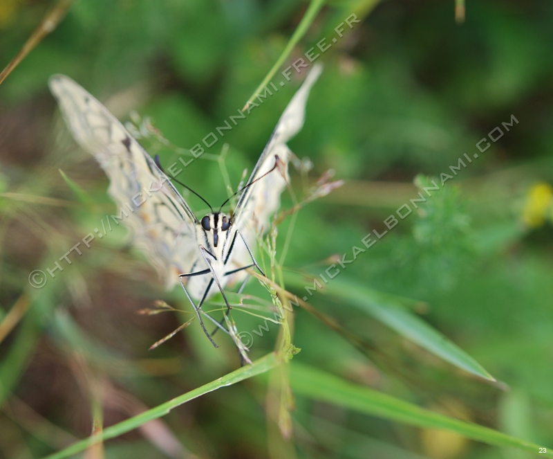 FIL ROUGE : Papillons Story Machaon
